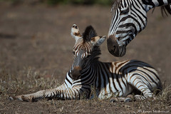Caring parent (leendert3) Tags: leonmolenaar southafrica krugernationalpark wildlife nature mammals burchellszebra ngc npc