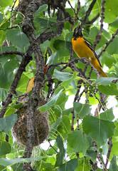 oriole father and offspring (kerwilliger) Tags: birds madison wisconsin arboretum baltimore oriole icterus galbula nest feeding nestling cottonwood