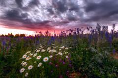 Little Ladies (Konejita) Tags: pacificnorthwerst washington wa wildflowers vancouver nikon d600 christinaangquico