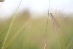 Sortir..... (aracobis) Tags: hélios44m4 vintagelens canon7d prairie libellule demoiselle zygoptères nature juin2018
