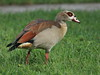 Egyptian Goose 01-20180614 (Kenneth Cole Schneider) Tags: florida miramar westmiramarwca