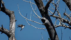 Tree Swallow (Jacques P Raymond) Tags: treeswallow bird big swallow calgary alberta canada outdoor nature wildlife
