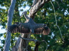 wings (long.fanger) Tags: centreville virginia greatblueheron utilityeasementarea wings