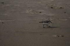 DSC_9819 (padraicsmeehan) Tags: beach sunandsurf sand birds coast longisland atlanticbeach ny newyork unitedstates usa america beachclub pipingplover charadriusmelodus shorebirds coastal southshore wading ocean atlanticocean