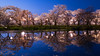 弘前公園 (かがみ~) Tags: aomori sakura leicaq hirosaki leica japan yozakura typ116 さくら 夜桜 弘前 日本 青森 hirosakishi aomoriken jp