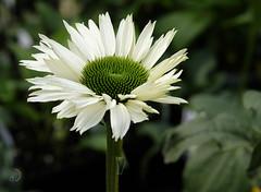 Chez le pépiniériste (bd168) Tags: flowers pepinière greenhouse bokeh vertetblanc greenandwhite closeups grosplan xt10 xf50mmf2rwr