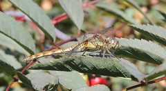 Landing Pad (Kevin Pendragon) Tags: common darter yellow green brown leaf wings big eyes insect nature summer sunshine mature outdoors