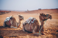 Resting Camels (dogslobber) Tags: yellow oman omani middle east arab arabian peninsula travel adventure explore wander wanderlust wahiba sands desert sand camel camels