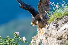 Faucon pelerin-Falco peregrinus (PatNik01) Tags: france bugey falaise falcoperegrinus faucon fauconpelerin fleur oiseau rapace nikon