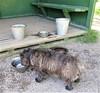 Helteellä janottaa... (totinkoti) Tags: totti koirapuisto jano vesi dogpark