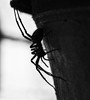 365 - Image 154 - Spider... (Gary Neville) Tags: 365 365images 5th365 photoaday 2018 sony sonyrx10m4 rx10m4 rx10iv polaroid250d macro garyneville
