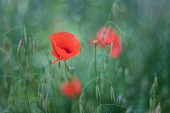 _DSC6861 (kymarto) Tags: bokeh bokehlicious bokehphotography dof depthoffield flowers flowerphotography nature naturephotography beauty beautiful sony sonyphotography sonya7r2 oldlens vintagelens poppies