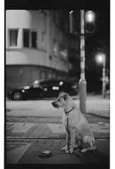 P63-2018-023 (lianefinch) Tags: argentique argentic analogique analog monochrome blackandwhite blackwhite bw noirblanc noiretblanc nb chien dog dogs chiens griffon animal nature urbain urban city ville street rue