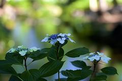 Hydrangea macrophylla f.normalis (Jim Mayes) Tags: canon eos digital 100mm macro ef ef100mmf28lmacroisusm 大阪市立長居植物園