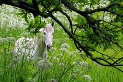 Camargue Pferd (Frank S (aka Knarfs1)) Tags: camargue pferde trebeurden marais quellen trébeurden bretagene horse cheval