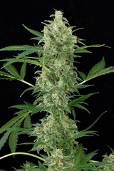 Cheese_Auto-07 (Watcher1999) Tags: cheese auto autoflowering sativa indica cannabis medical marijuana seeds growing weed smoking ganja legalize it