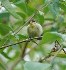 Cute & fluffy (Peter Shergold) Tags: 100400 a9 arundel birds sony nature animals copyrightpetershergold wetlands