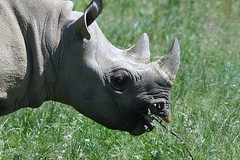 Yorkshire Wildlife Park ...07.06.2018 794 (Andrew Burling (SnapAndy1512)) Tags: yorkshirewildlifepark07062018 yorkshirewildlifepark blackrhino rhino animals zoo