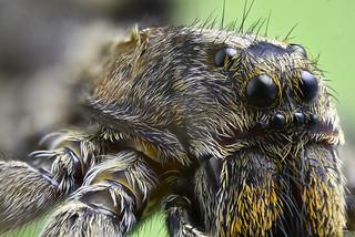 Araña Lobo 5x - Araña Lycosa