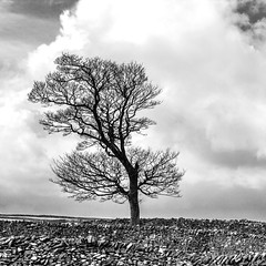 One Tree (TablinumCarlson) Tags: uk grosbritannien britannien britain great united kingdom england nordengland northern peak district baum tree mauer wall stonewall steinmauer landscape landschaft leica m m240 90mm summicron wolken clouds peakdistrictnationalpark national park white limestone walls litton cressbrook derbyshire sw bw black kontrast contrast himmel sky