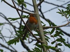 DSC08157 (guyfogwill) Tags: 2018 bird birds devon erithacusrubecula europeanrobin gbr guyfogwill june leechwellgarden robin totnes unitedkingdom