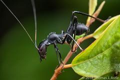 Ant-Mimic Katydid Nymph (Tom's Macro and Nature Photographs) Tags: macrophotography insects mimicry antmimic katydids orthoptera tettigoniidae eurycorypha hymenoptera africa mozambique gorongosa