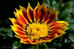 Big Gazinia (David S Wilson) Tags: uk fujinonxf2880mmmacro floral davidswilson fens flower xh1 cambridgeshire 2018 flowers fujifilmxh1 flowersplants photos ely fujifilm england