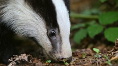 Snuffle Pig (Cosper Wosper) Tags: badger somerset stopthecull