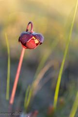 Late Day Light (maureen.elliott) Tags: plant wildlfower pitcherplant bloom light nature growing