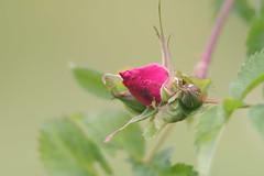 Kibuvits (Jaan Keinaste) Tags: pentax k3 pentaxk3 eesti estonia loodus nature kibuvits rosehip jupiter37a