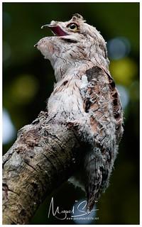 Common Potoo / Nictibio Común o Pájaro Estaca
