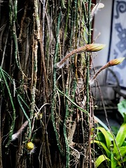 Straggly cactus strands hung from tree after hurricane... Nightblooming Cereus (jungle mama) Tags: nightbloomingcereus nightbloomingcactus yellow gold amber white petal blossom courtyard livinginajungle susanfordcollinswiry root stem