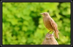"""A Starling Perch..."" (NikonShutterBug1) Tags: nikond7100 tamron18400mm birds ornithology wildlife nature spe smartphotoeditor birdfeedingstation bokeh wings starling"