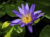 Blauer Lotus -  Blue Water Lily (Kat-i) Tags: münchen bayern deutschland bluewaterlily blauerlotus seerose nymphaeacaerulea pflanze wasserpflanze lila blau macro makro nikon1v1 katharina kati 2018 wassertropfen raindrops