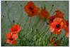 Vraiment juin (afantelin) Tags: yonne burgundy bourgogne rouge fleur coquelicot insecte