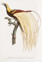 Young, emperor bird-of-paradise, male from Histoire Naturelle des Oiseaux de Paradis et Des Rolliers (1806) by Jacques Barraband (1767-1809). (Free Public Domain Illustrations by rawpixel) Tags: otherkeywords animal antique barraband bird birdofparadise cc0 creativecommon0 creativecommons0 drawing drawn emerald emperorbirdofparadise emperorofgermanysbirdofparadise fly handdrawing handdrawn histoirenaturelledesoiseauxdeparadisetdesrolliers illustration jacquesbarraband jaques jaquesbarraband maleemperorbirdofparadise old paradisaeaguilielmi publicdomain rollers sketch vintage youngbirdofparadise