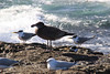 Immature pacific gull and terns at Bass Point (RossCunningham183) Tags: basspoint shellharbour wollongong australia bird pacificgull crestedtern tern immature waves sea silvergull basspointreserve marinesanctuary