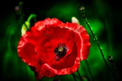 Lens combo test 1 (wulifou) Tags: poppies poppy spring nature bokeh closeup sonya7iii adaptedlenses matabonesiv canonef3004lis red green