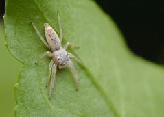 (Matt Claghorn) Tags: tokina100mmf28 nikond50 jumpingspider hentziamitrata ohiospiders spider macro