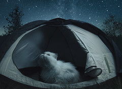 B. (happyphotons) Tags: trip journey camp tent animal cat domestic pet night adventure camping dark glowingtent inside leisure look vacation nighttime looking nopeople starring black adorable closeup cute pretty funny happy blue big bright charisma fat lovable outdoor hiking natural sky relax shore forest persian moonlight astrolover starrysky