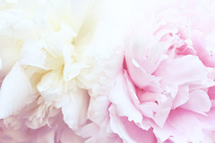 Peonies (izzistudio) Tags: pink yellow buy photography print etsy shop peonies peony flowers botanical floral nature