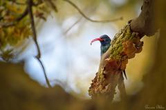 Got you! (Sumarie Slabber) Tags: rooibekkakelaar bird birding animal wildlife sumarieslabber nature photography blur tree selectivefocus