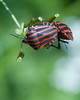 house_20180520_D_0002 (© Steven House www.houselightgallery.com) Tags: 2018 animal beetle belgium beveren cameradetails country digital hoftersaksen house houselightgallery places stevenhouse year