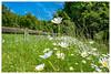 Au bord de la route (Pascale_seg) Tags: landscape paysage marguerites fleurs flowers daisy printemps spring champ field countryscape herbe moselle lorraine grandest france nikon sky road route