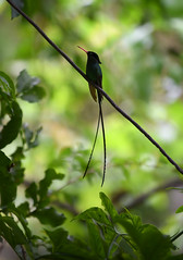 The Jamaican Doctor Bird (Anthony Mark Images) Tags: jamaicandoctorbird redbilledstreamertail hummingbird jamaicasnationalbird cute lovely wonderful beautiful bird littlebirds jamaican jamaica westindies caribbean rainforest wire leaves bokeh rocklandsbirdsactuary flickrclickx