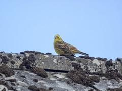 P5260017 (turbok) Tags: goldammeremberizacitrinella tiere vögel wildtiere c kurt krimberger