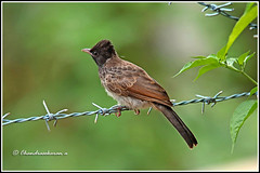 7903 - redvented bulbul (chandrasekaran a 50 lakhs views Thanks to all.) Tags: redventedbulbul bulbul birds nature india wayanad kerala canoneos6dmarkii tamronsp150600mmg2