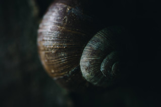 All Natural - Snail on a tree (Spiral snail shell)