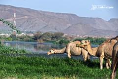 Madina (haidarism (Home Sweet Home)) Tags: madina saudiarabia camel grass water mountain animal outdoor sonya7ii