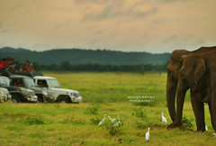 Man vs Wild (Manuj Wijayaratne) Tags: yellow elephants elephant safari national park evening wild wildlife nature nikon eveningsky
